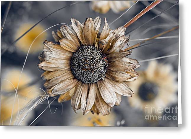 Fading Oxeye Greeting Card by Venetta Archer