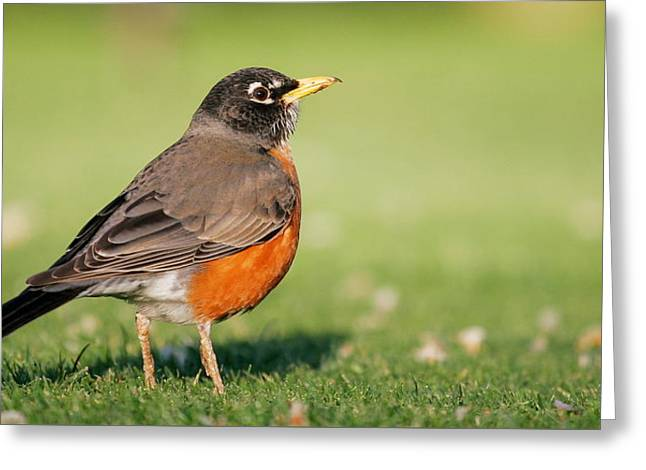 Fairway Robin Greeting Card by Andrew Johnson