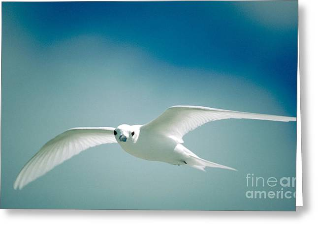 Fairy Tern In Flight Greeting Card by Sidney Bahrt