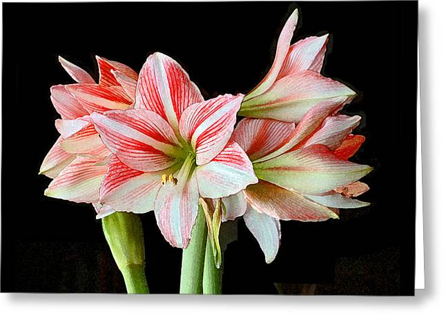 Fairyland Amaryllis  Greeting Card