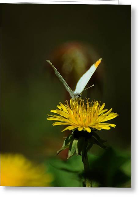 Falcate Orangetip Butterfly On Dandelion Greeting Card by Rebecca Sherman