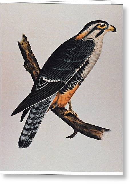Falcon Aplomado Falcon Greeting Card by Movie Poster Prints
