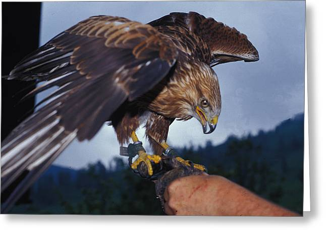 Greeting Card featuring the photograph Falcon by Carl Purcell