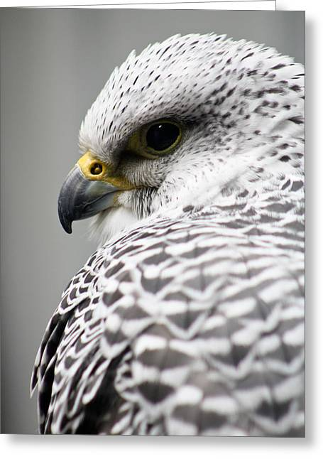 Falcon Greeting Card by Mindee Green