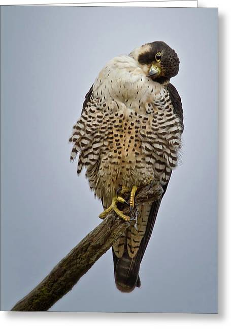 Falcon With Cocked Head Greeting Card