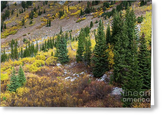 Fall Aspens And Evergreen Trees Greeting Card by Mike Cavaroc