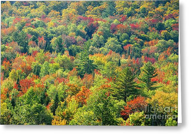 Fall Forest Greeting Card by David Lee Thompson