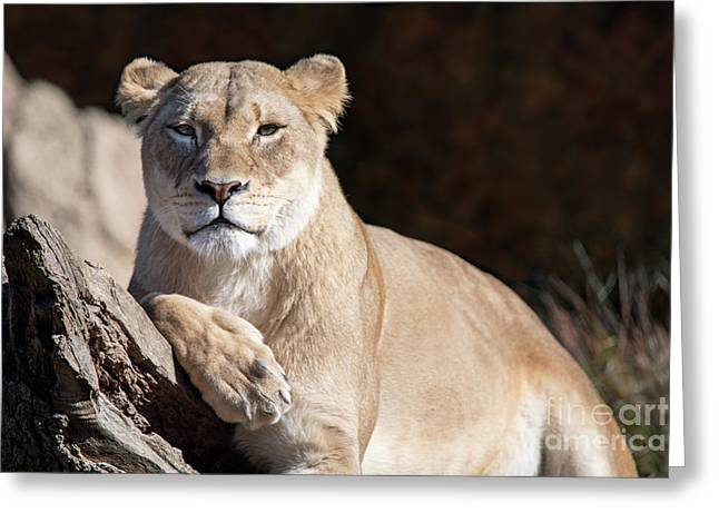 Fall Lioness Greeting Card