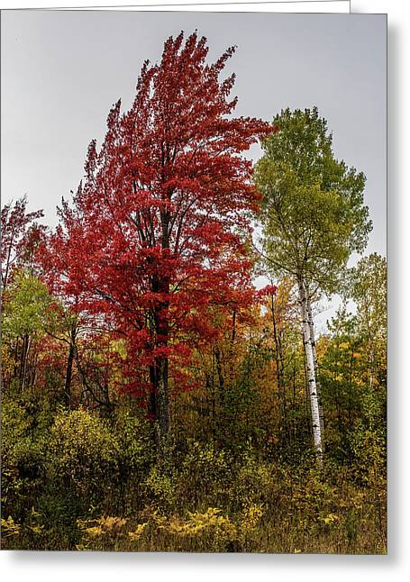 Greeting Card featuring the photograph Fall Maple by Paul Freidlund