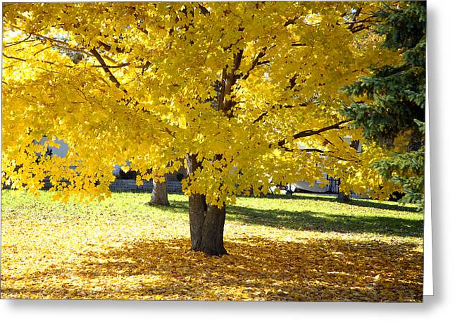 Fall Maple Tree With Bright Yellow Leaves Greeting Card by Norman Pogson