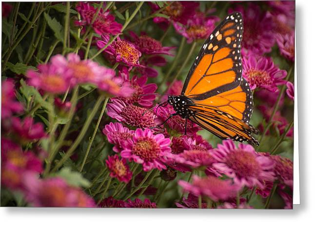 Greeting Card featuring the photograph Fall Monarch  by Julie Andel