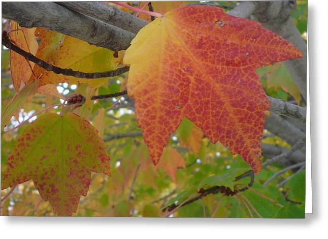 Fall On A Branch Greeting Card by Connie Young