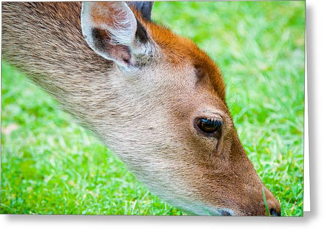 Fallow Deer Grazing British Fallow Deer Grazing On Grass In The New Forest Dorset Greeting Card by Andy Smy