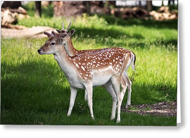 Fallow Deer In Richmond Park Greeting Card by Rona Black