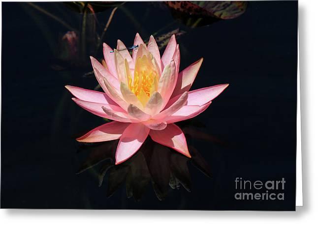 Familiar Bluet Damselfly And Lotus  Greeting Card