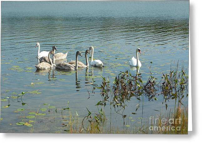 Family Of Swans Greeting Card