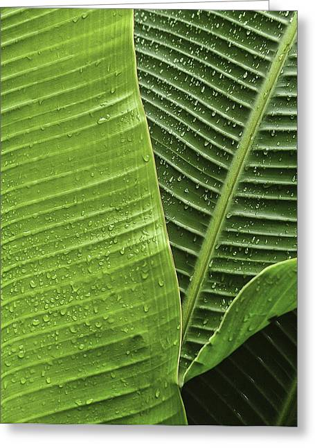 Greeting Card featuring the photograph Fan Palm Leaf 2 by Lou  Novick