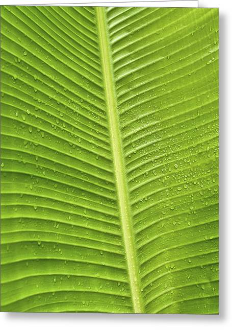 Greeting Card featuring the photograph Fan Palm Leaf by Lou  Novick