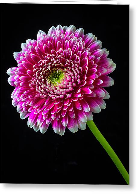 Fancy Pink And White Mum Greeting Card by Garry Gay