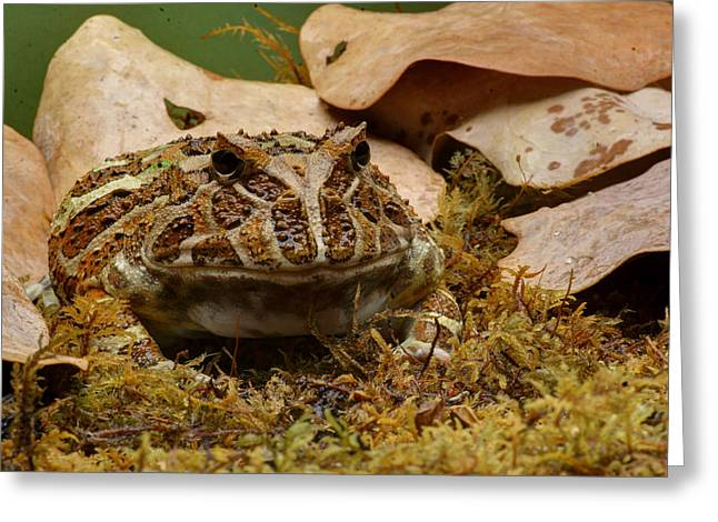 Greeting Card featuring the photograph Fantasy - Horned Frog by Nikolyn McDonald
