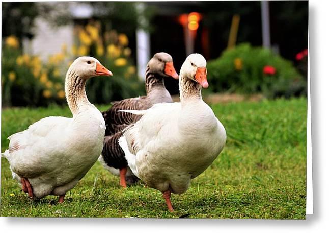 Farm Geese Greeting Card