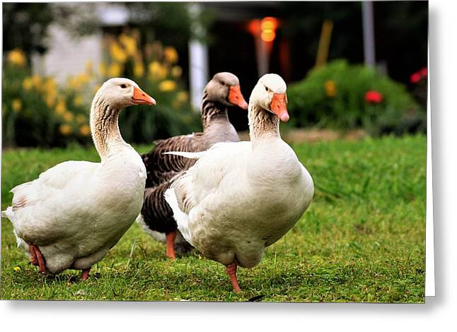 Farm Geese Greeting Card