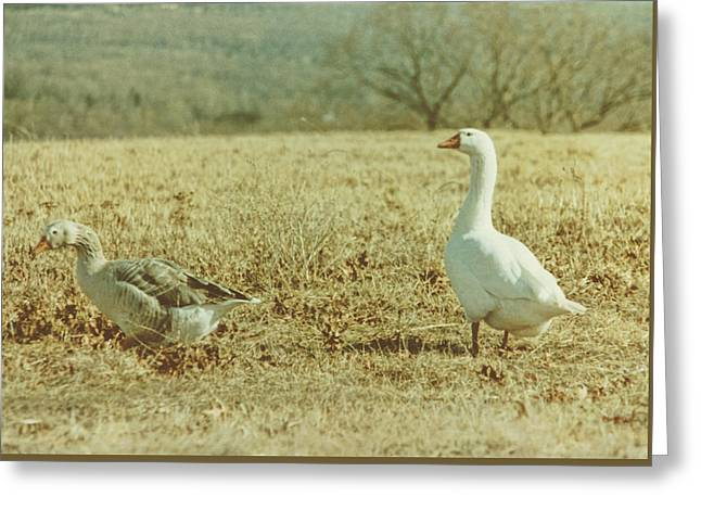 Farm Geese Greeting Card by JAMART Photography