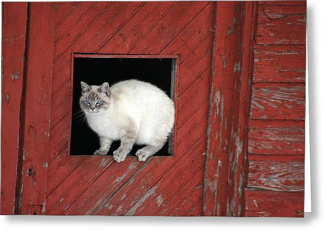 Farm Kittie Greeting Card by Shawna Dockery