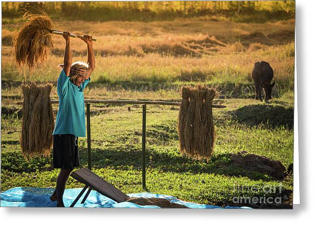 Greeting Card featuring the photograph Farmers Rice Grain Threshing During Harvest Time. by Tosporn Preede