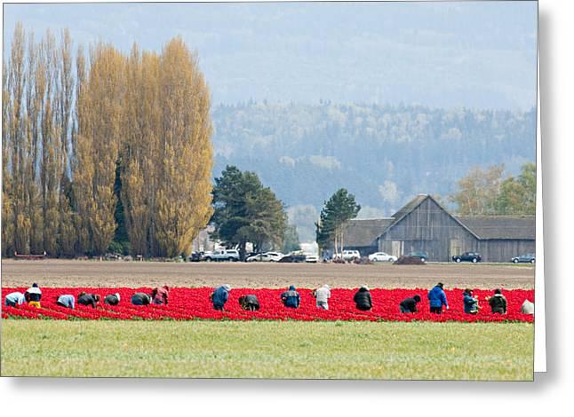 Farming Tulips L574 Greeting Card by Yoshiki Nakamura