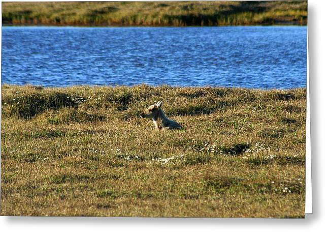 Fawn Caribou Greeting Card by Anthony Jones