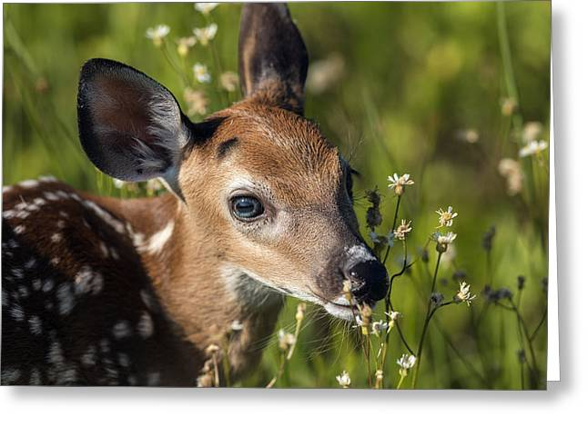 Fawn In Wildflowers Greeting Card