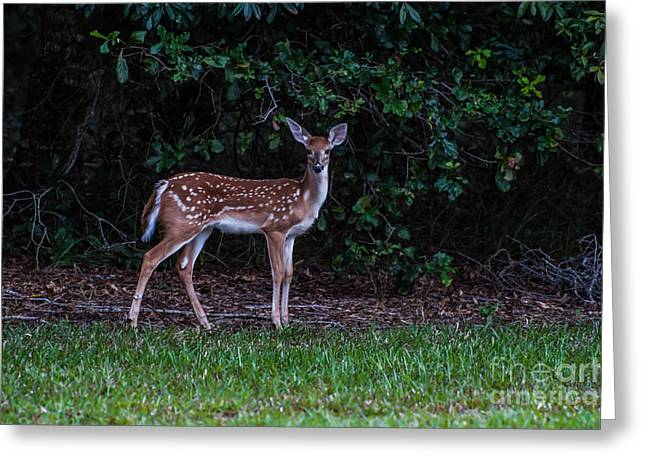 Fawn Near The Forest Greeting Card by Zina Stromberg