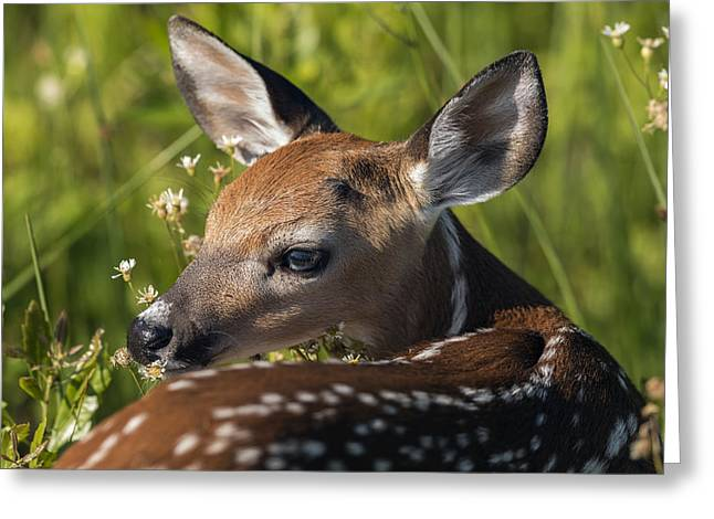 Fawn Over The Shoulder Greeting Card
