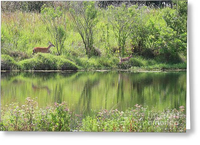 Fawn Spotted Across The Pond Greeting Card