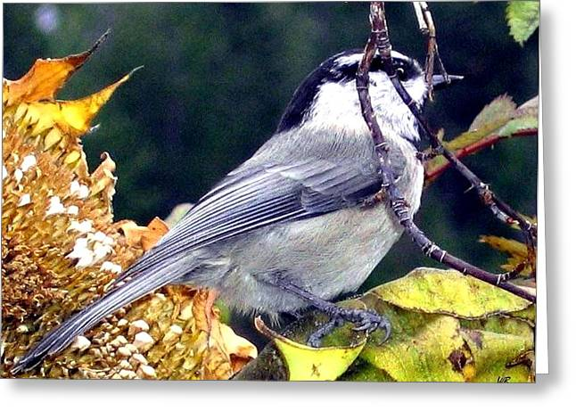 Feast For A Chickadee Greeting Card by Will Borden