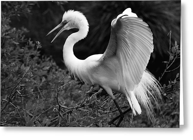Feather 8-8 Bnw Greeting Card by Skip Willits