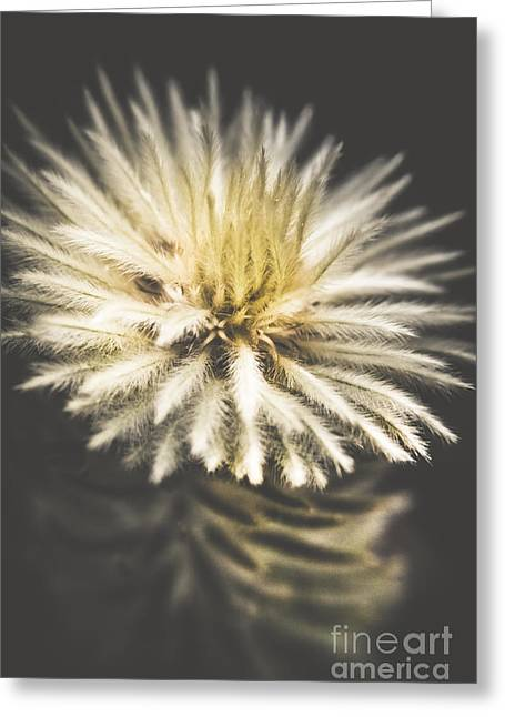 Feather-head Flannel Bush Flower Greeting Card by Jorgo Photography - Wall Art Gallery