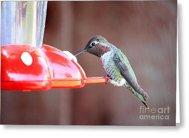 Feeding Hummingbird Greeting Card