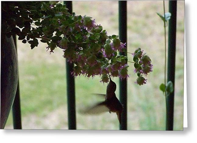 Feeding Hummingbird Greeting Card