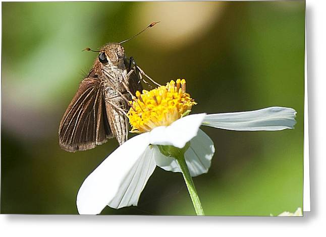Feeding Moth Greeting Card