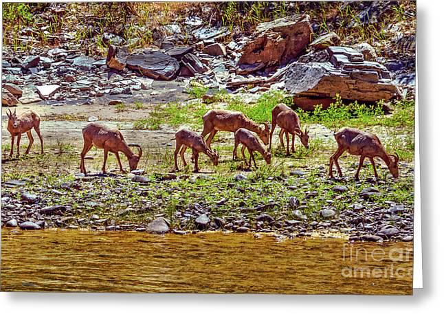 Feeding Mountain Sheep Greeting Card by Robert Bales
