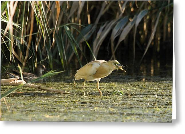 Feeding Squacco Heron Greeting Card
