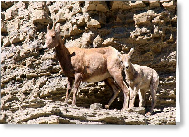 Female Bighorn Sheep With Juvenile Greeting Card