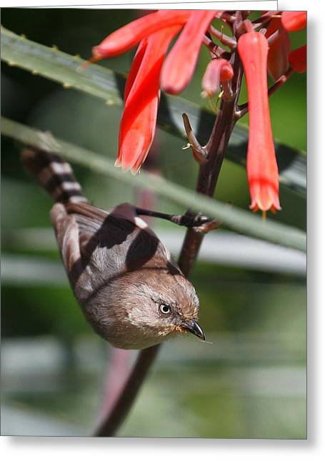 Female Bushtit Greeting Card by Andrew Johnson