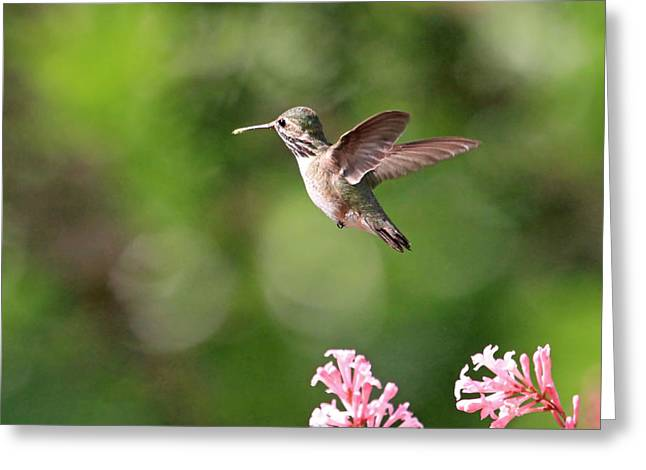 Female Calliope Hummingbird Greeting Card