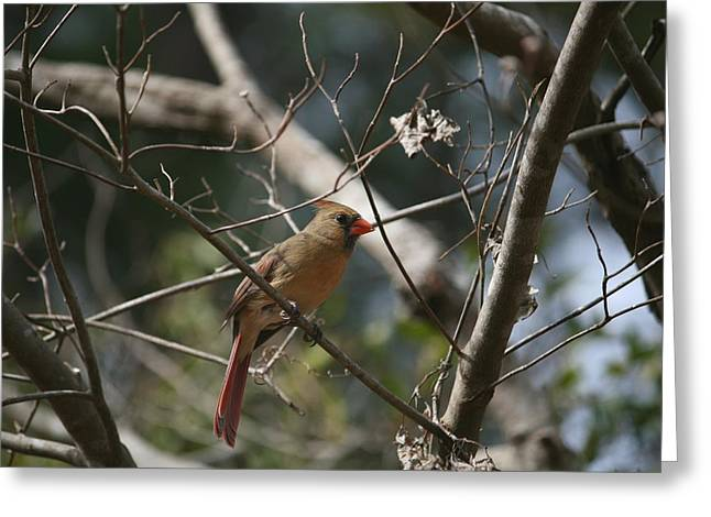 Female Cardinal 3 Greeting Card by Cathy Harper
