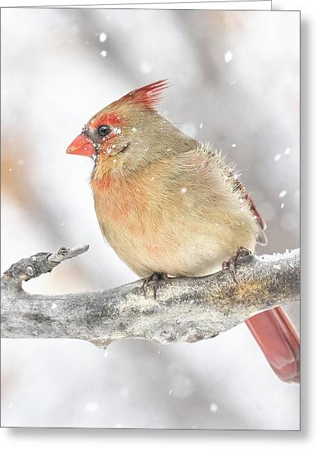Female Cardinal In A Snow Storm Greeting Card