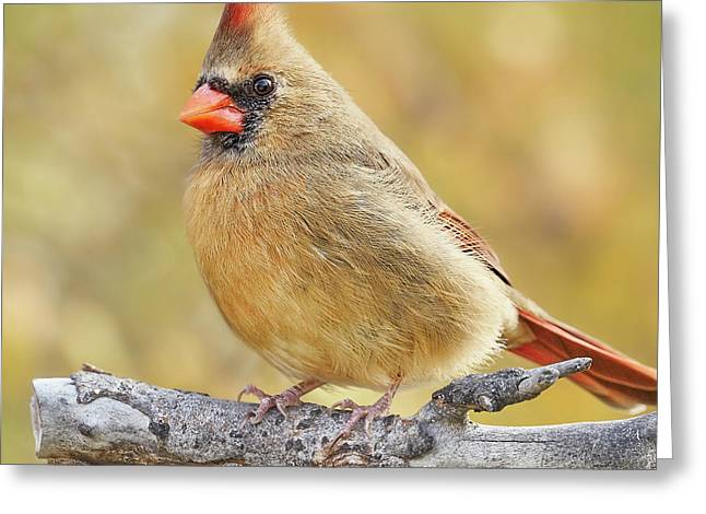 Female Cardinal In Minnesota Autumn Greeting Card