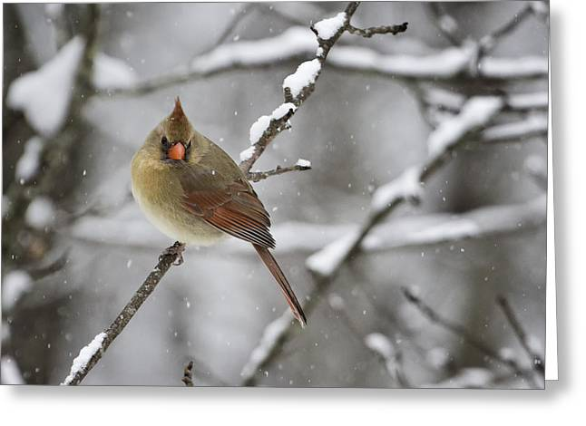 Bird Photographs Greeting Cards - Female Cardinal in Snow Greeting Card by Rob Travis